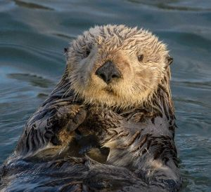 Adult sea otter looks at the camera