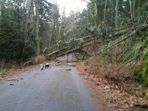 Tree blown down by windstorm on Vancouver Island BC